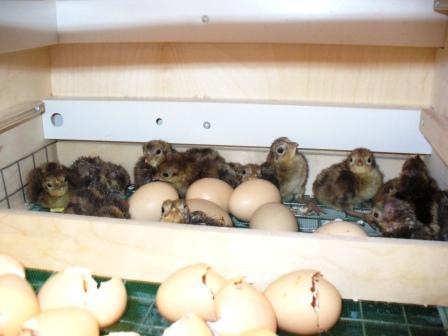 Как и чем кормить фазанов в домашних